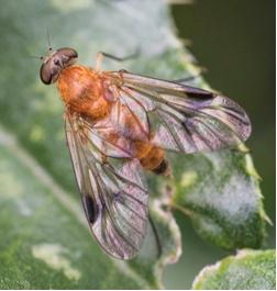 Tree Snipe-fly - Chrysopilus laetus