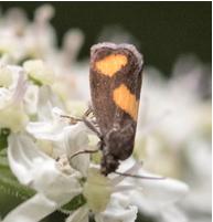 Orange-Spot Piercer Pammene aurana