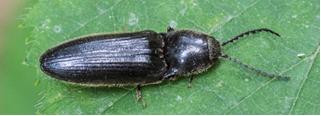 A black Click-beetle