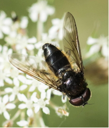 Hoverfly – Cheilosia sp.2