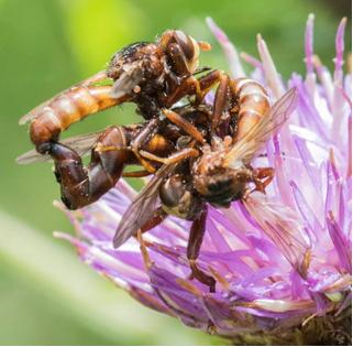 Mating Conopid flies - Sicus ferrugineus