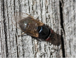 Fly - Phasia sp.