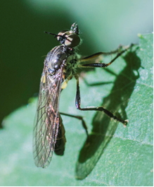 Robber-fly - Dioctria sp.