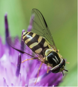 Hoverfly - Dasysyrphus albostriatus
