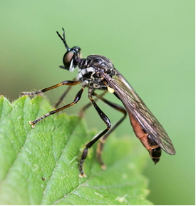 Robber-fly - Dioctria sp.2