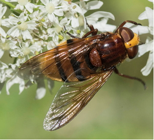 Hoverfly - The hornet mimic Volucella zonaria