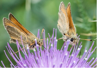 Essex Skippers – Thymelicus lineola