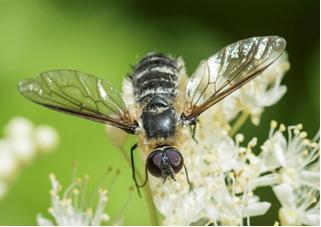 Bee-fly – Villa sp