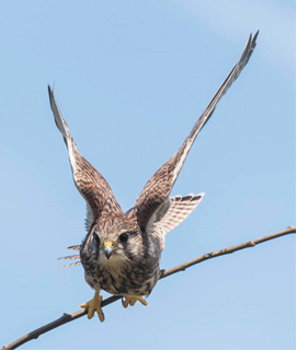 Young Kestrel taking off