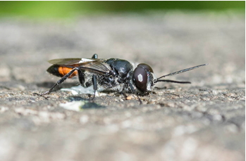 Solitary Wasp possibly Astata boops