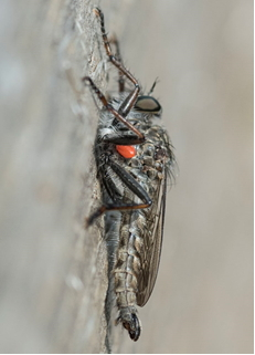 Robber-fly - Machimus sp. with a single red mite attached