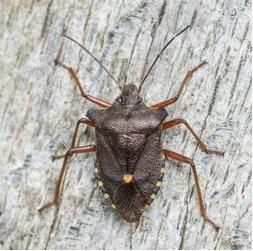 Forest Bug - Pentatoma rufipe