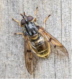 Bronze Sap Hoverfly - Ferdinandea cuprea