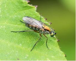 Fly - Sciapus platypterus