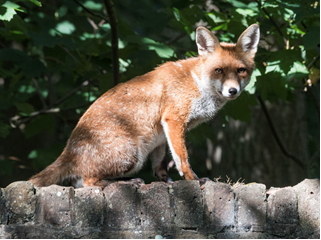Red Fox sitting on a wall