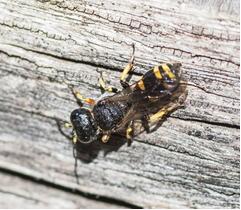 Digger Wasp – Ectemnius sp.