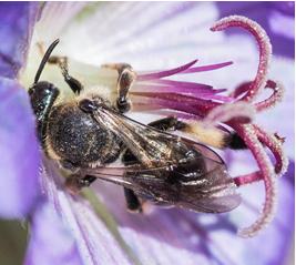 Yellow-faced Bee – Hylaeus sp.