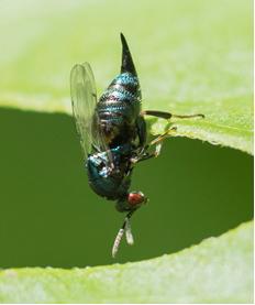 Wasp - Ormyrus nitidulus